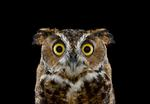 Brad Wilson: Great Horned Owl #1, Espanola, NM, 2011