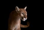 Brad Wilson: Mountain Lion #4, Los Angeles, CA, 2011