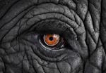Brad Wilson: African Elephant #11, Monterey, CA , 2010