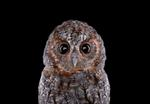 Brad Wilson: Flammulated Owl #1, Espanola, NM, 2011