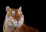 Brad Wilson: Golden Tiger #1, Monterey, CA, 2014