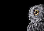 Brad Wilson: Western Screech Owl #2, Espanola, NM, 2011
