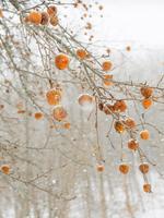Cig Harvey: Frozen Apples, Rockport, Maine, 2018