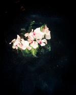 Cig Harvey: Cyclamen (Sinking)