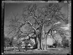 Elaine Ling: Baobab, Tree of Generations #15, 2009