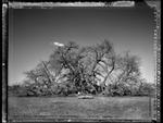Elaine Ling: Baobab, Tree of Generations #18, 2009