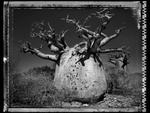 Elaine Ling: Baobab, Tree of Generations #25, 2010