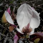 Hiroshi Watanabe: TDTDC 38 (Magnolia Flower), 2009