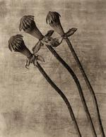 James Pitts: Dried Poppies, 1999