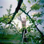 Jane Alden Stevens: Culling Blossoms #3, Spring, Aomori Prefecture