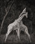 Nick Brandt: Giraffes Battling in Forest, Maasai Mara, 2008