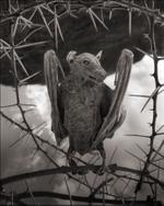 Nick Brandt: Petrified Bat II, Lake Natron, 2012