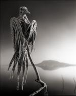 Nick Brandt: Calcified Caped Dove, Lake Natron 2010