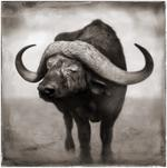 Nick Brandt: Buffalo Blind In One Eye Resting, Amboseli, 2005