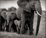 Nick Brandt: Elephant Mother & Two Babies, Serengeti, 2002