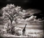 Nick Brandt: Giraffe Looking Over Plains, 2002